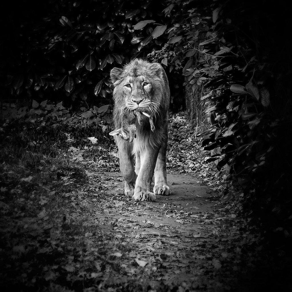 Lion (Planckendael)