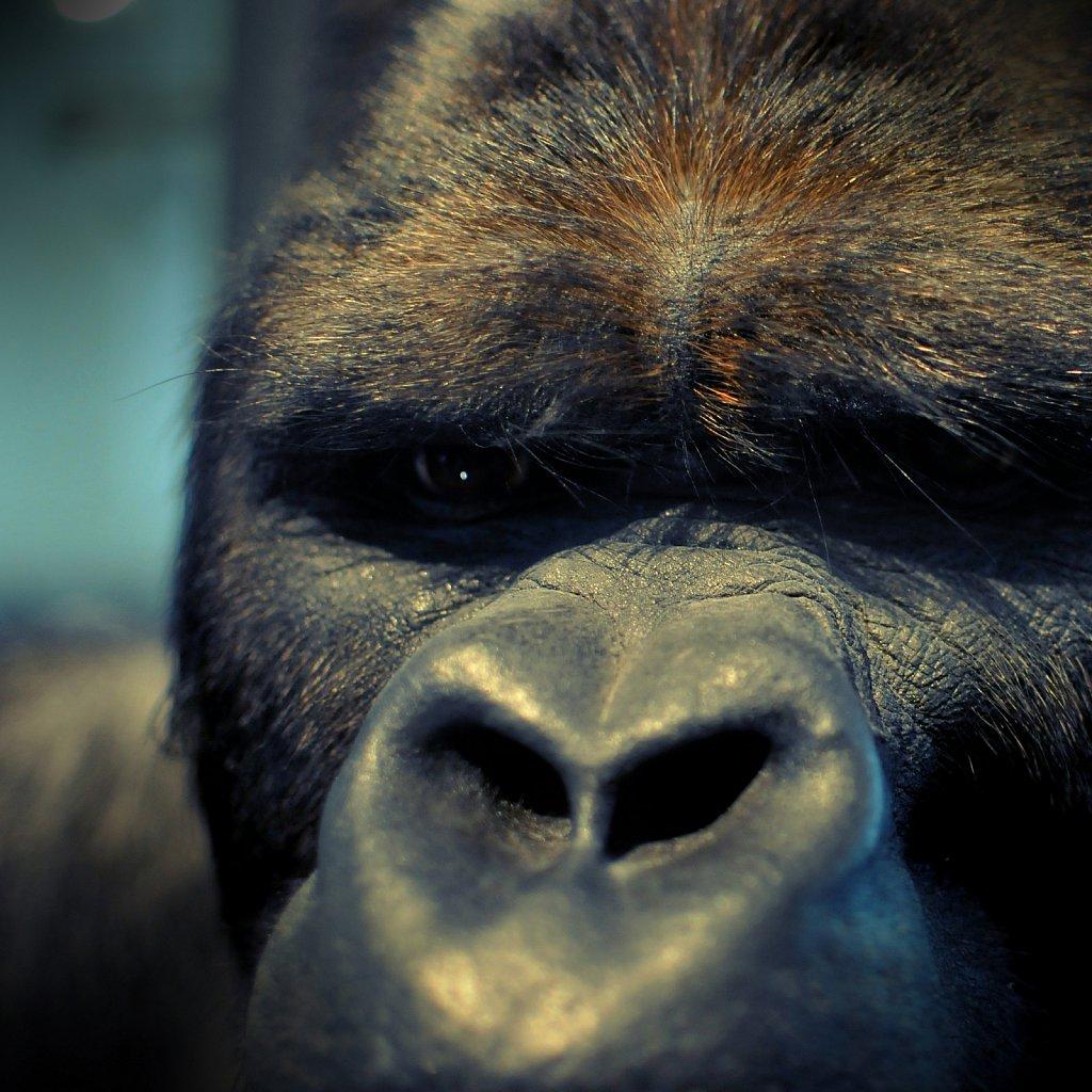 Gorille (Musée des Sciences Bruxelles)
